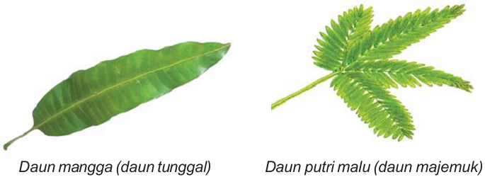 daun tunggal daun majemuk.png