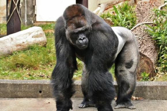 shabani-gorilla